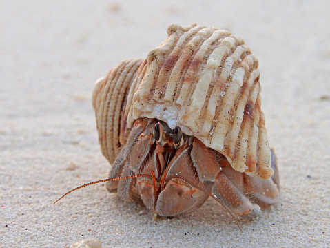 Close-up of land hermit crab inside shell on sandy Maldivian beach. Cute looking crab. Eyes and feet.