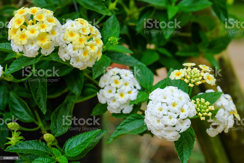 Closeup of lantana aculeata flowers stock photo