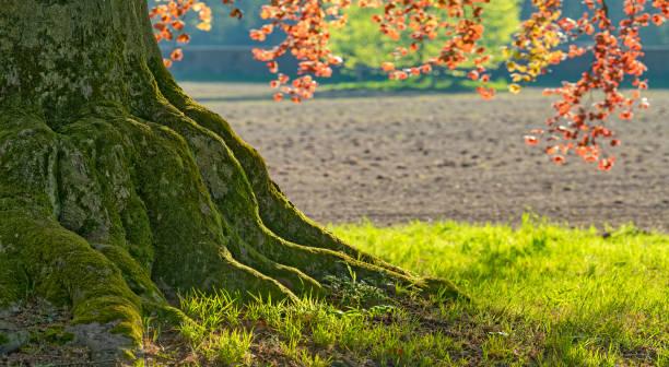 Nahaufnahme von großen Buchenbaumwurzeln im Frühlingssonnenlicht beleuchtet – Foto