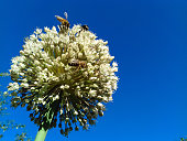 Closeup of large flower head of the onion on blue sky background. Bees sit on a white beautiful flower. Bees pollinate onion flower. Copy space. Summer background