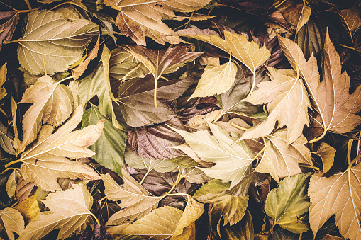 istock Close-up of large group of brown plane tree big leaves fallen on ground in autumn season 880443834