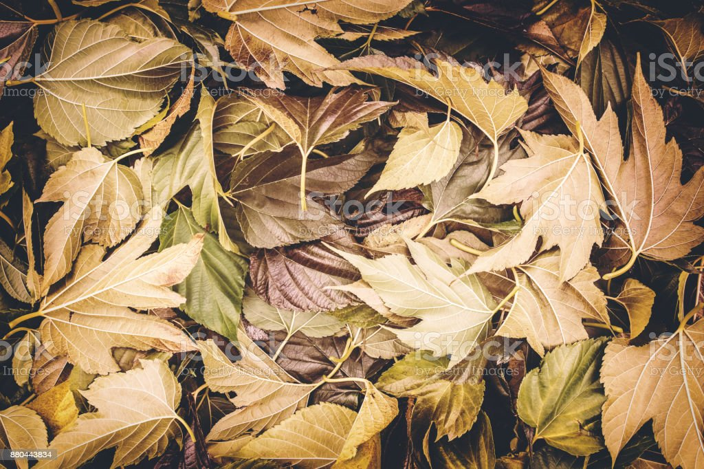 Close-up of large group of brown plane tree big leaves fallen on ground in autumn season stock photo