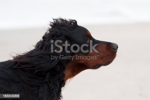 Close-up of large long-haired dog on the beach