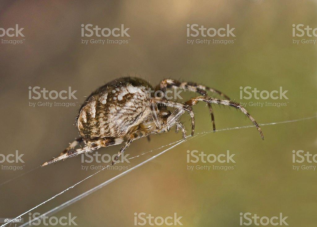 Nahaufnahme der großen Spinne auf cobweb Lizenzfreies stock-foto
