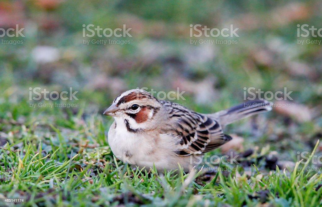 Close-up of Lark Sparrow Facing Camera stock photo