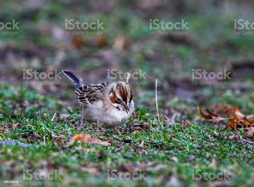Close-up of Lark Sparrow Foraging stock photo