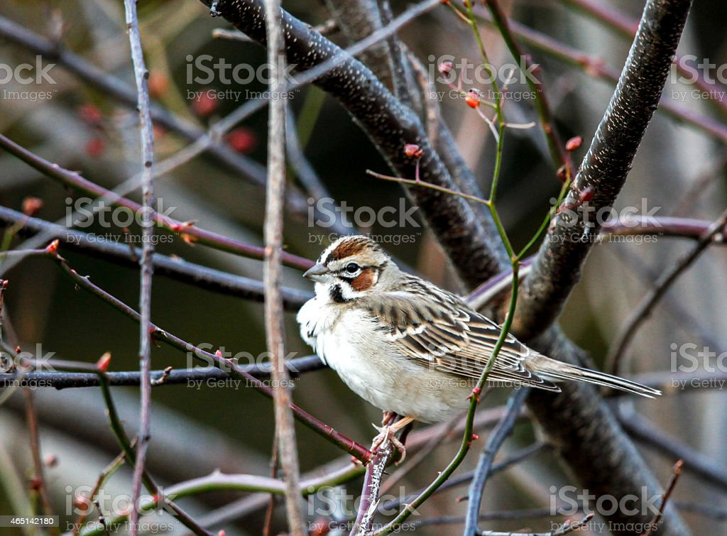 Close-up of Lark Sparrow Perched in Tree stock photo