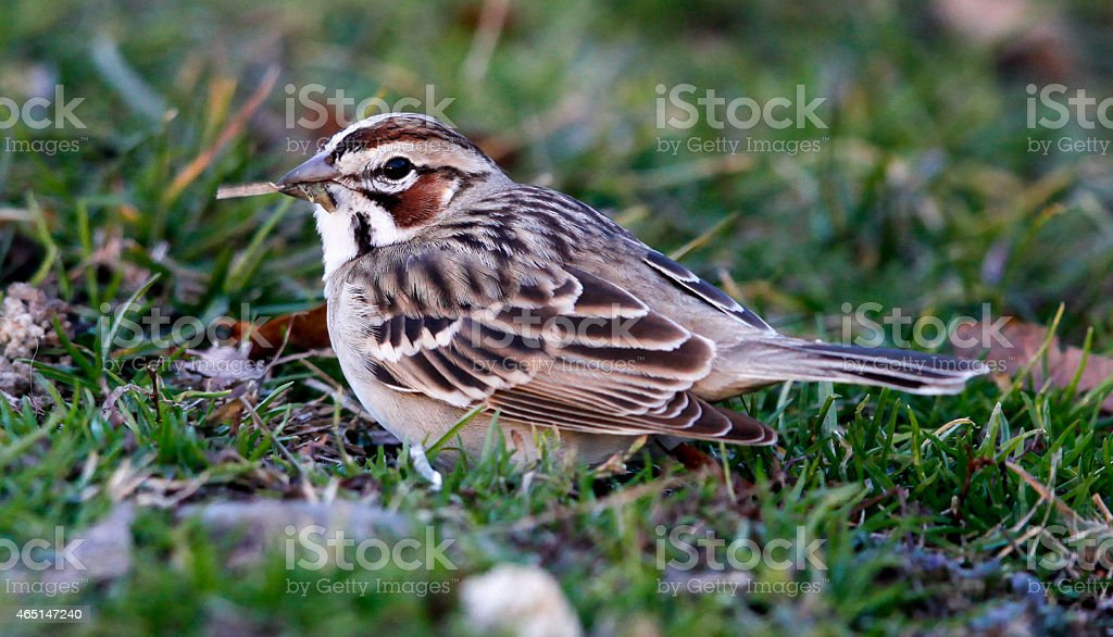 Close-up of Lark Sparrow With Grass in its Mouth stock photo