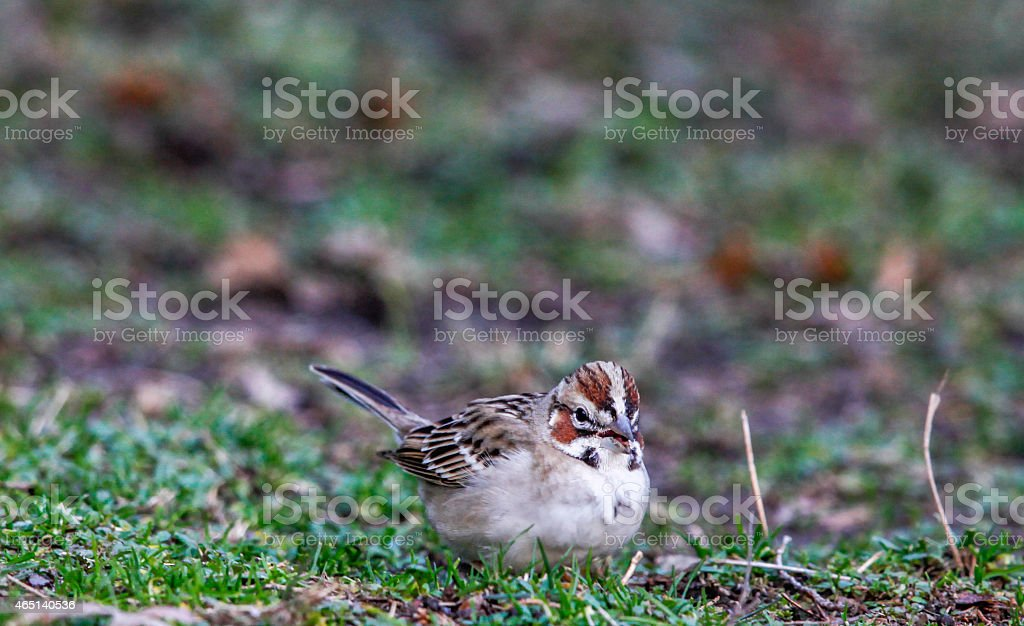 Close-up of Lark Sparrow With Seed stock photo