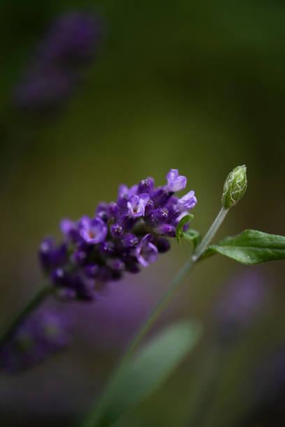 Close-up of Lavender Blossom stock photo