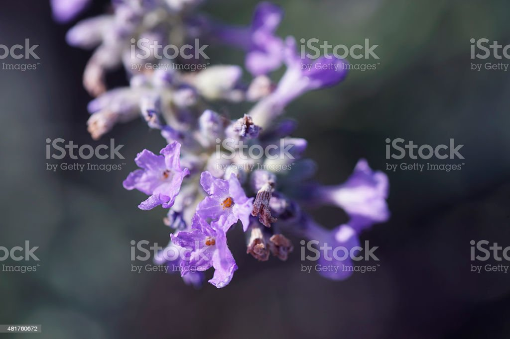 Close-up of lavender flower on a summer day stock photo