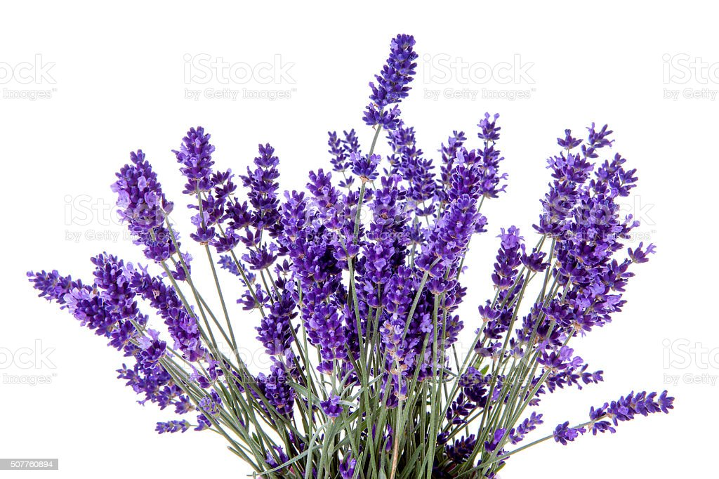 Closeup of lavender flowers over white background stock photo