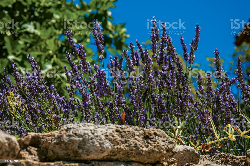 Close-up of lavender flowers under sunny blue sky in Ménerbes. stock photo