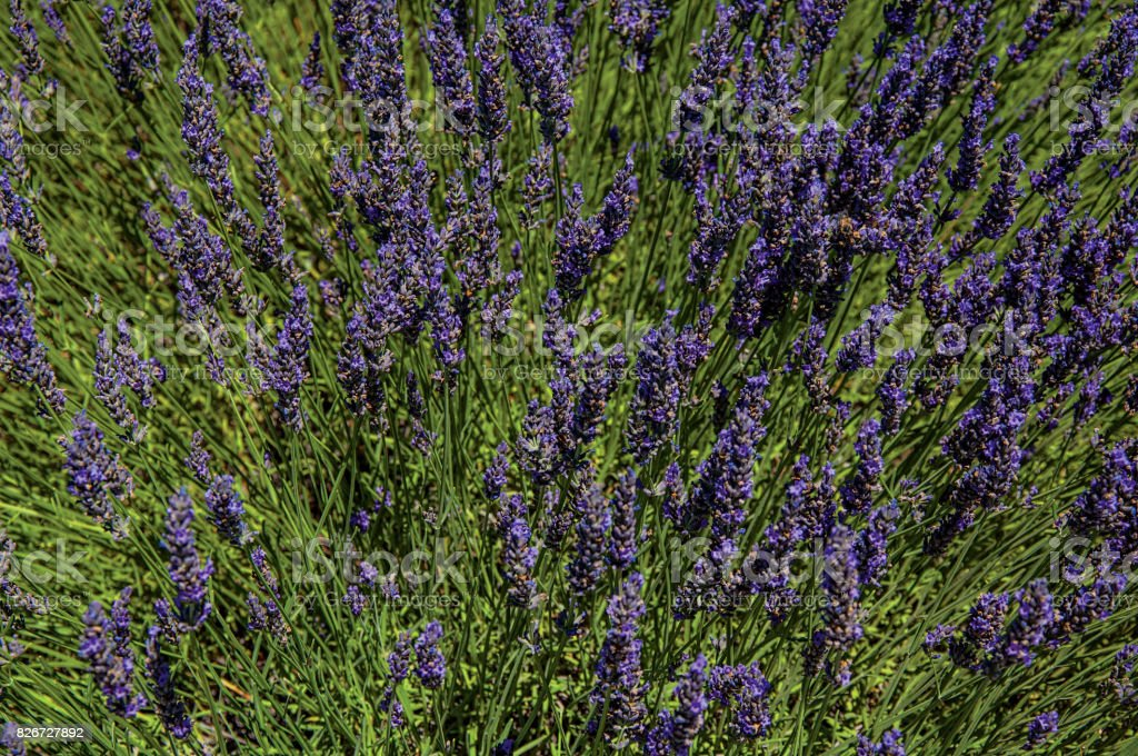 Close-up of lavender flowers under sunny blue sky, near the village of Gordes. stock photo