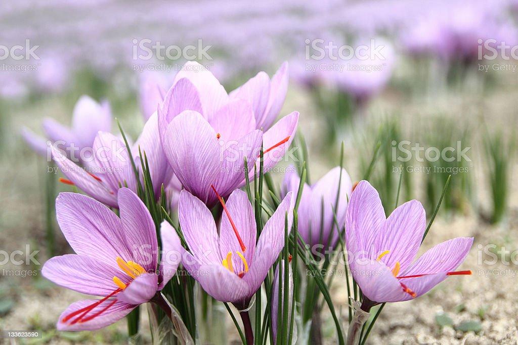 Close-up of lavender Saffron blossoms stock photo