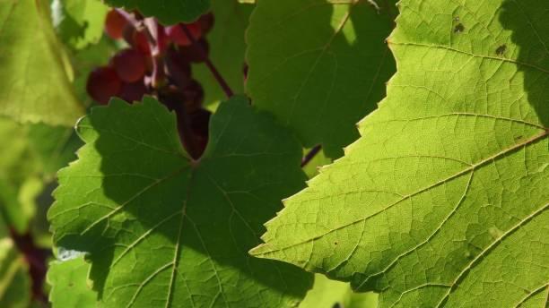 Closeup of leaf veins on fresh green leaf with blurred background of vineyard stock photo