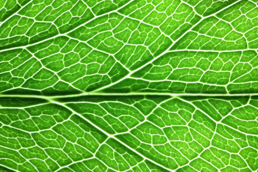 The underside of a veined leaf