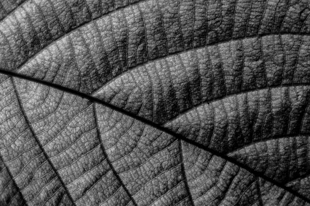 close-up of leaf veins - foliate pattern stock photos and pictures