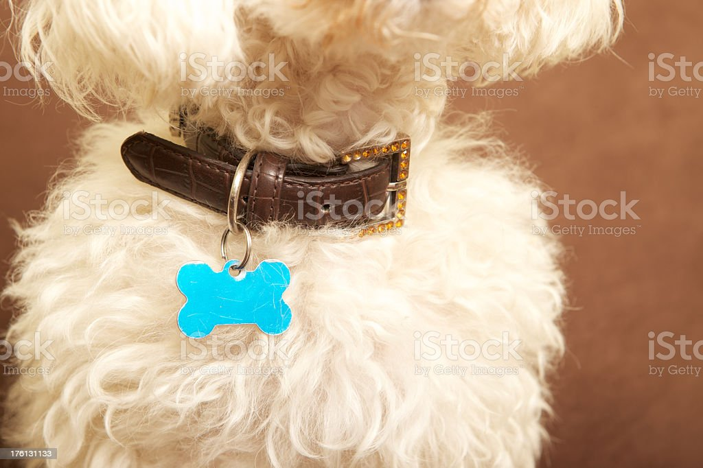 Close-up of leather dog collar and blue tag on white poodle stock photo