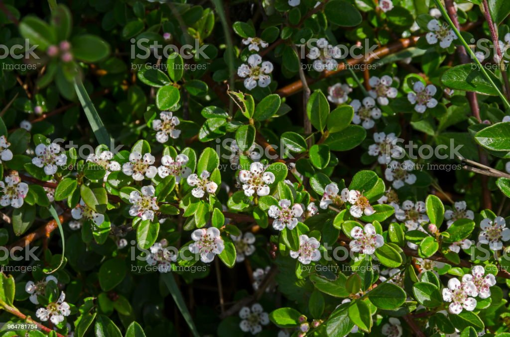 Closeup of leaves and small white flowers on branches of Cotoneaster horizontalis in springtime, South park royalty-free stock photo