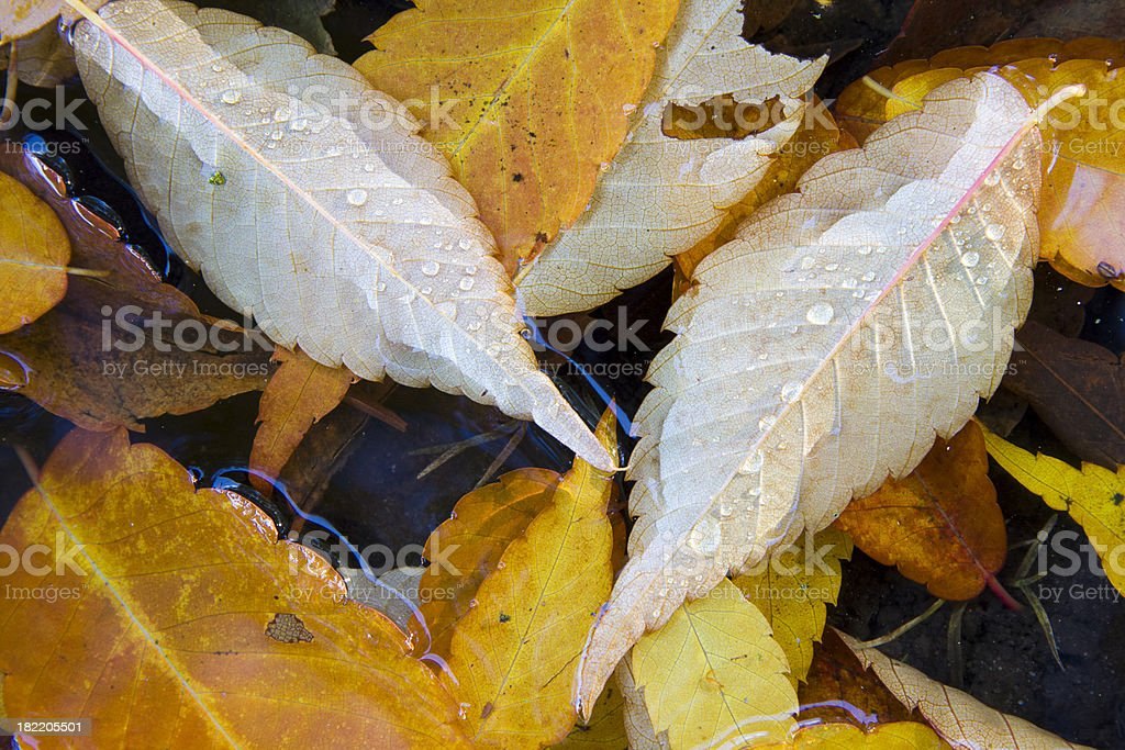Close-up of Leaves in a puddle royalty-free stock photo