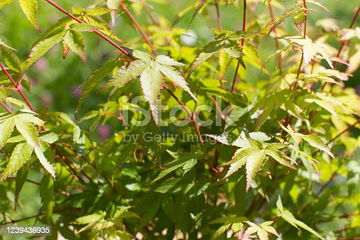 closeup of leaves of Japanese maple tree or Acer Palmatum, Little Princess type for tree power and green beauty in your backyard or garden - nature still life