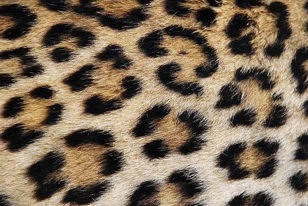 Royalty free leopard print pictures images and stock photos istock close up of leopard print brown and black stock photo thecheapjerseys Choice Image