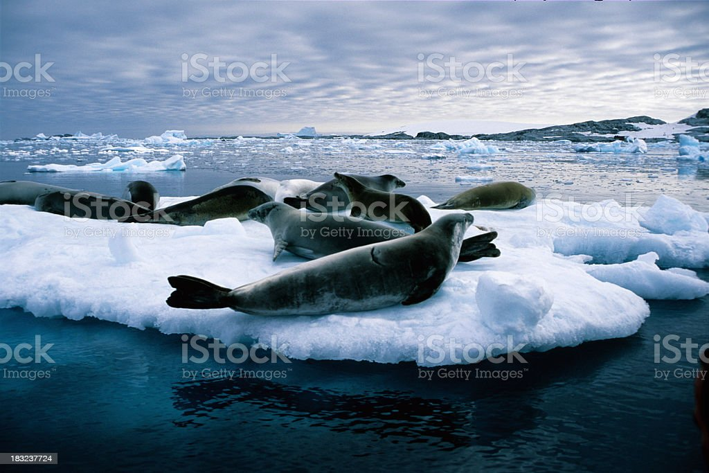 Close-up of leopard seals on a huge piece of ice stock photo