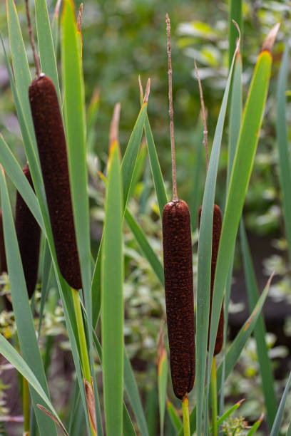 Close-up of lesser bulrush plants (typha latifolia) in green and brown
