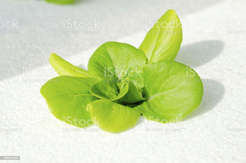 Closeup of lettuce stock photo