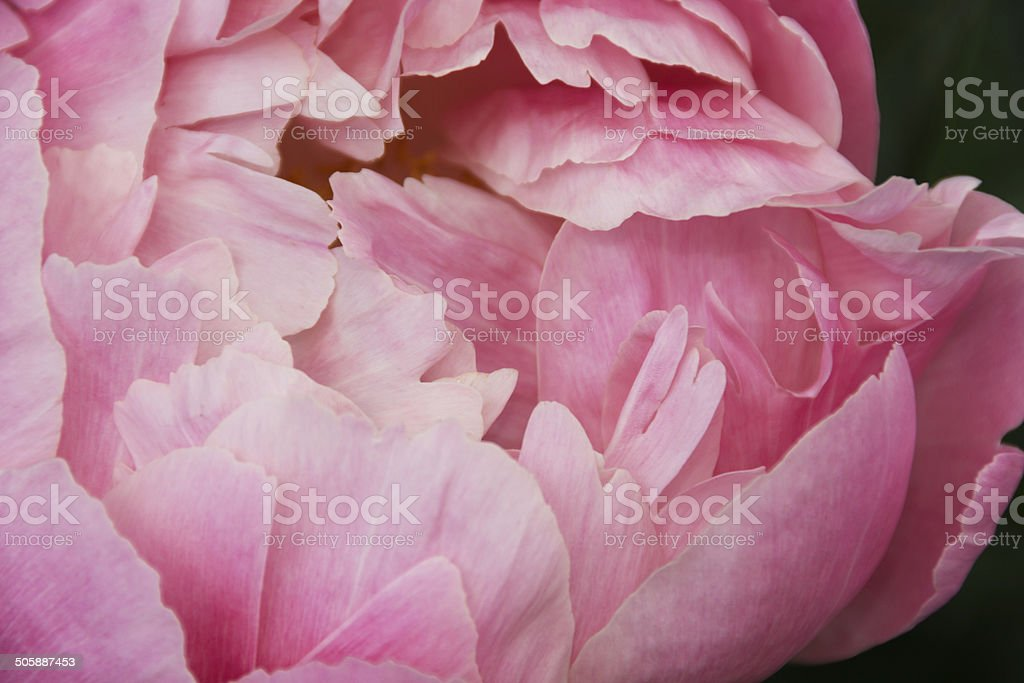Closeup of light pink peony, not open yet. royalty-free stock photo
