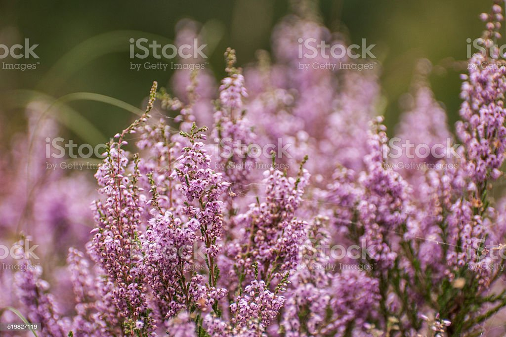 Closeup of lilac flowering common heather stock photo