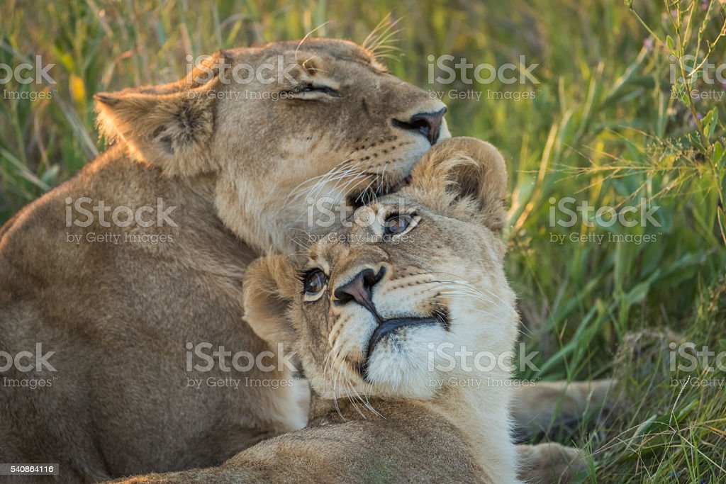 Close-up of lion nuzzling another in grass stock photo