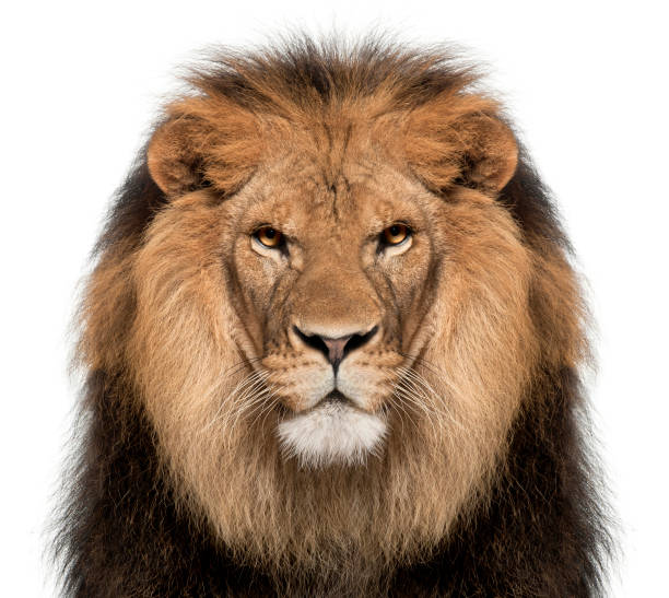 Close-up of lion, Panthera leo, 8 years old, in front of white background stock photo