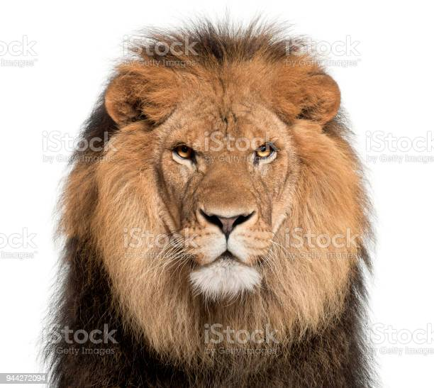 Closeup of lion panthera leo 8 years old in front of white background picture id944272094?b=1&k=6&m=944272094&s=612x612&h=8xhakzwbpepscfyg0nvfhind sccytqty 7jwzqao70=