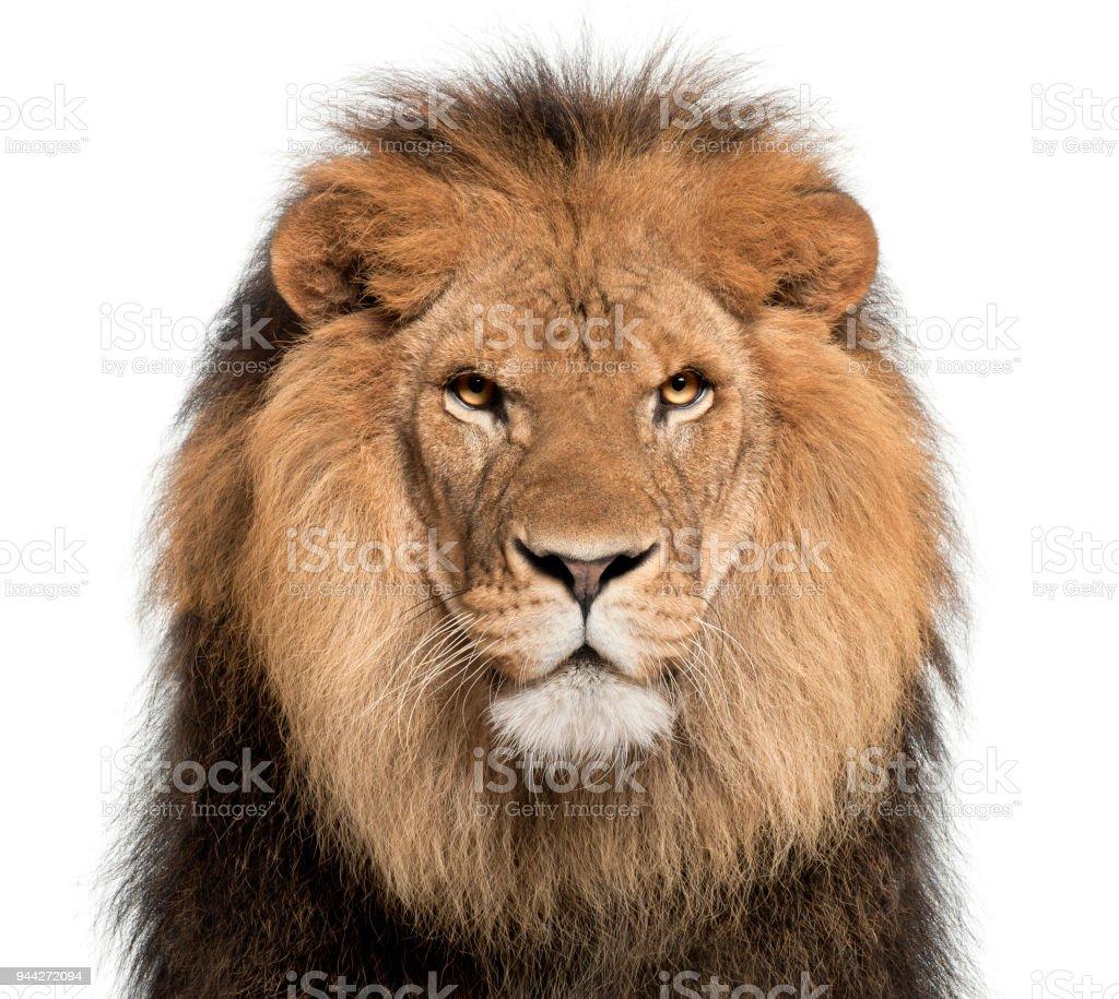 Gros plan du lion, Panthera leo, 8 ans, en face de fond blanc - Photo