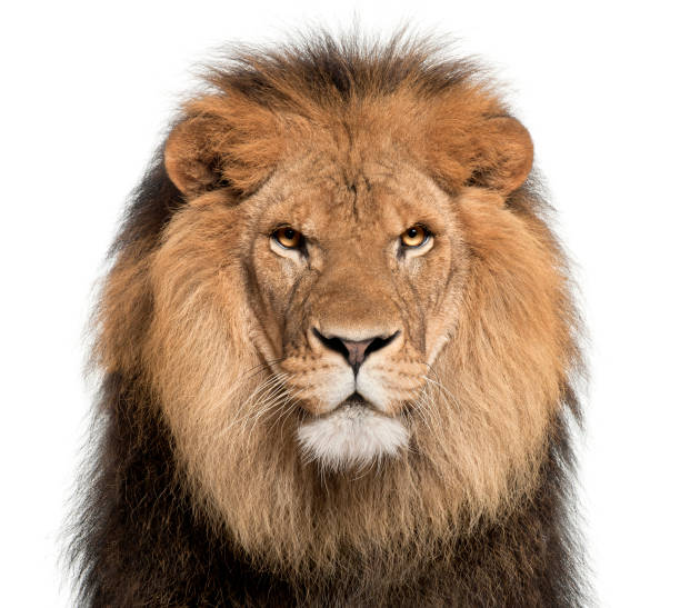 close-up of lion, panthera leo, 8 years old, in front of white background - lion stock photos and pictures