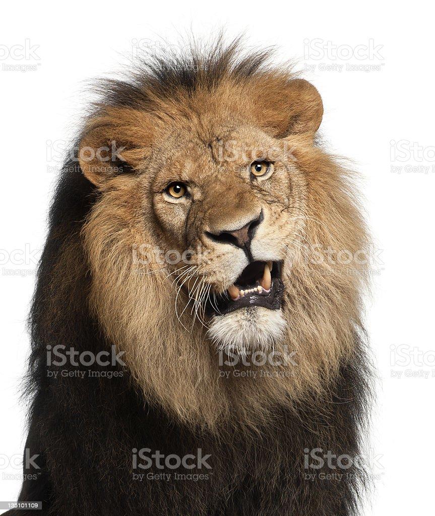 Primer plano de León, Panthera leo, 8 años de edad - foto de stock