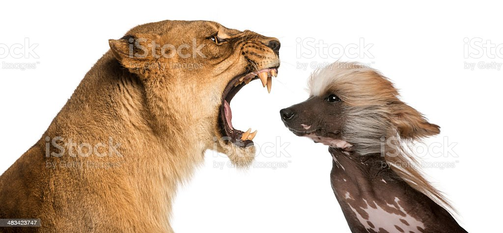 Close-up of  Lioness roaring at a Chinese Crested Dog's face stock photo