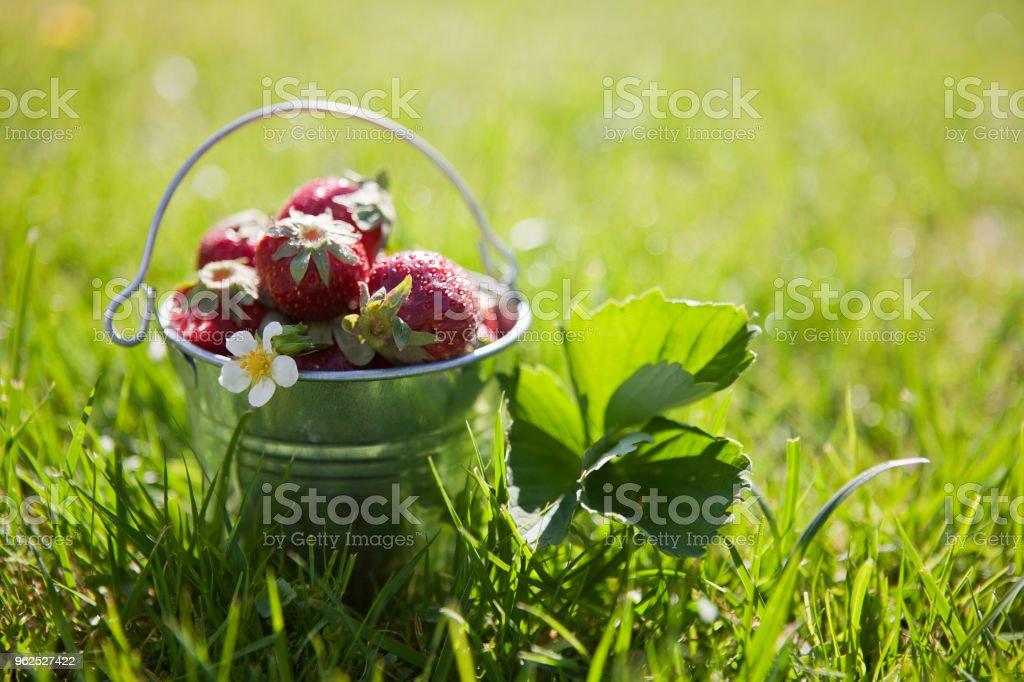 Close-up de pequeno balde com morangos frescos e suculentos na grama verde ao ar livre - Foto de stock de Agricultura royalty-free