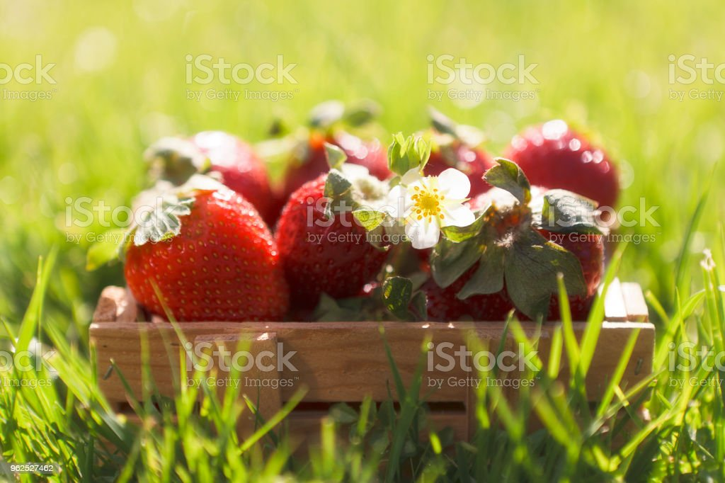 Close-up of little bucket with fresh and juicy strawberries on green grass outdoor - Royalty-free Agriculture Stock Photo