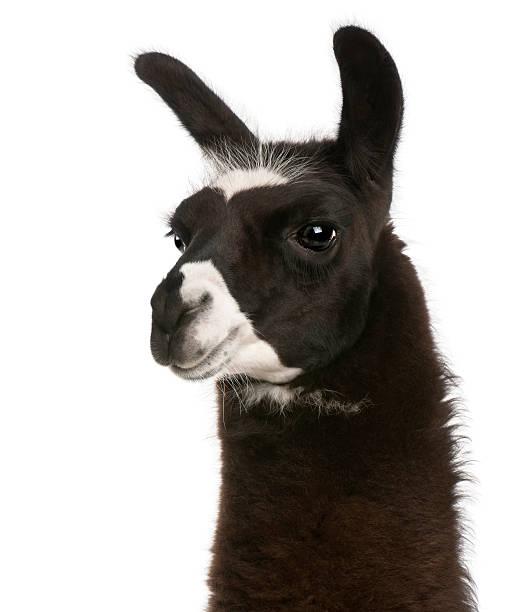 nahaufnahme von lama, lama glama, weißen hintergrund. - lama kamelartige stock-fotos und bilder