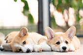istock Closeup of lovely, cute corgi dog puppies lying, relaxing and sleeping in summer sunny day 1128442270