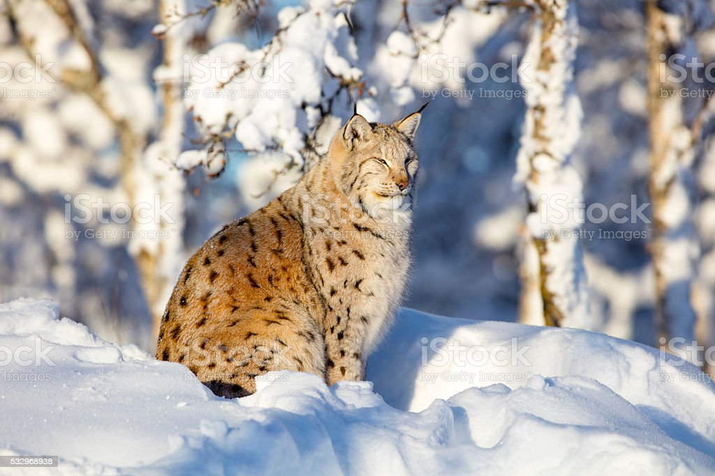 Close-up of lynx cat resting in the winter sun stock photo