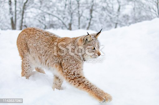 Close-up of european young lynx cat walks in the snow. Cold winter in the woods in January.