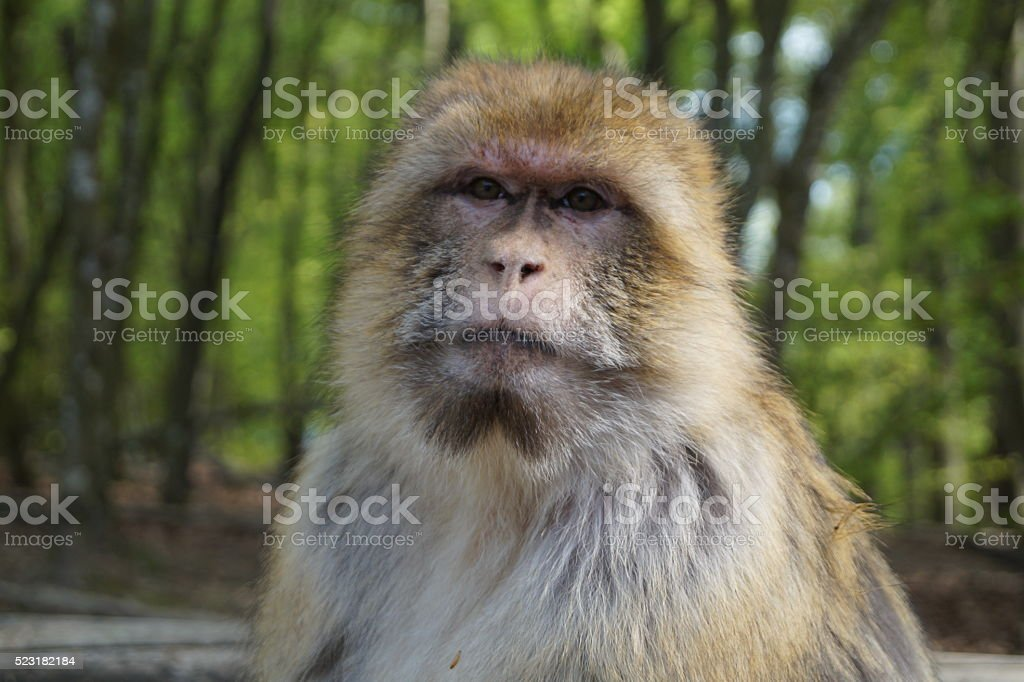 Close-up of Macaque stock photo