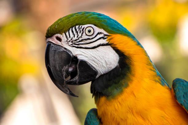 gros plan de perroquet ara - animaux familiers exotiques photos et images de collection