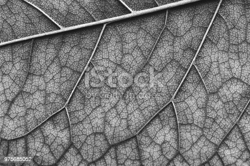 637513166istockphoto close-up of macro texture of leaf, black and white photo 975685052
