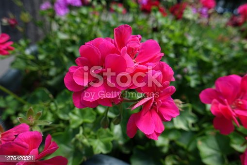Closeup of magenta colored flowers of ivy-leaved pelargonium in July