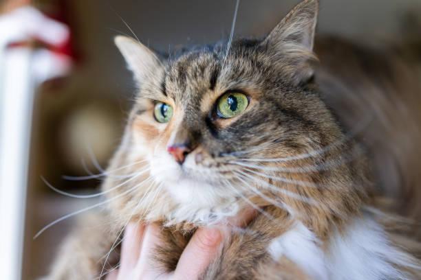 Closeup of maine coon calico cat face macro with focus on bloody cut picture id974909042?b=1&k=6&m=974909042&s=612x612&w=0&h=s97vdlicxr5n r0wr3detaurbjx4sxtr6uskopzt0wq=